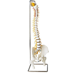 Human Premier Flexible Spinal Cord Model Set