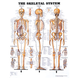 Chart of Skeletal System