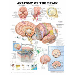 Chart of Brain Anatomy