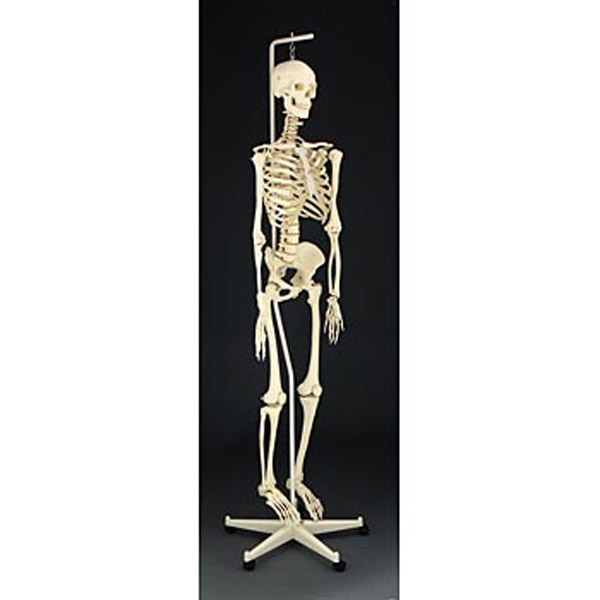 articulated human skeleton | life sciences by lafayette instrument, Skeleton