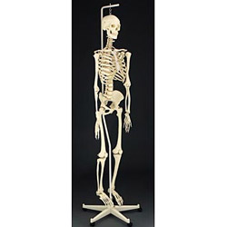 Articulated Human Skeleton