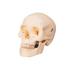Adult Human Skull Model