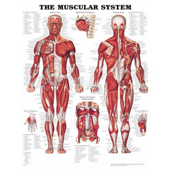 Chart of Muscular System