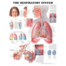 Chart of Respiratory System