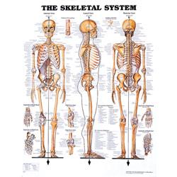 Chart of Skeletal System