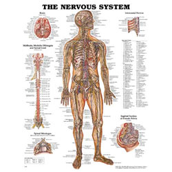 Chart of Nervous System