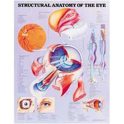 Chart of Eye Anatomy