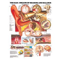 Chart of Ear Anatomy