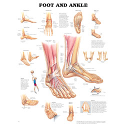 Chart of Foot and Ankle