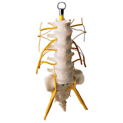 Lumbar Vertebrae Column with Spinal Nerves